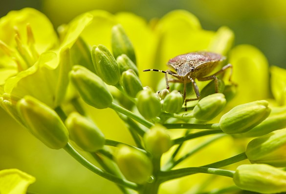 Insect eating a canola plant