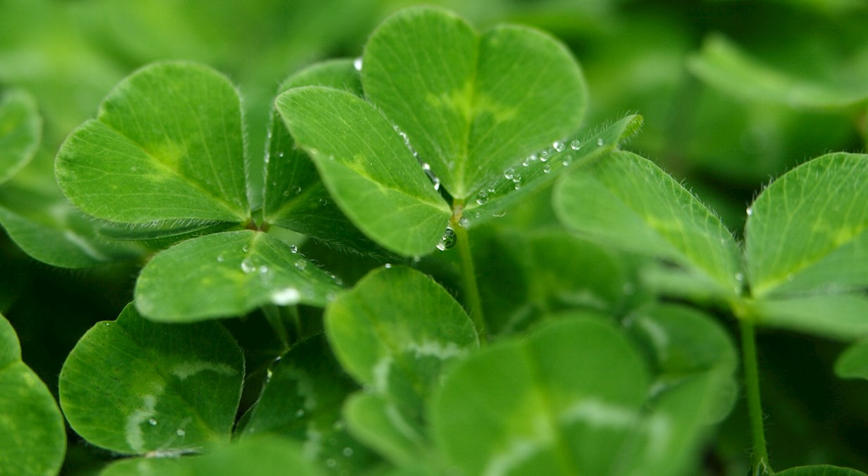 Close up of clover