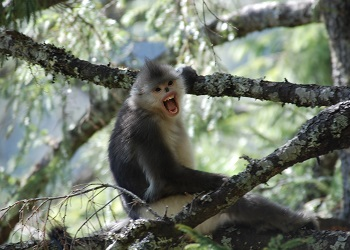 The enigmatic and endangered black-and-white snub-nosed monkey
