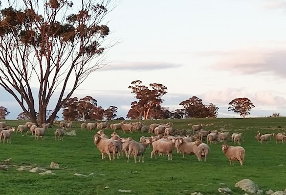 Sheep in a field