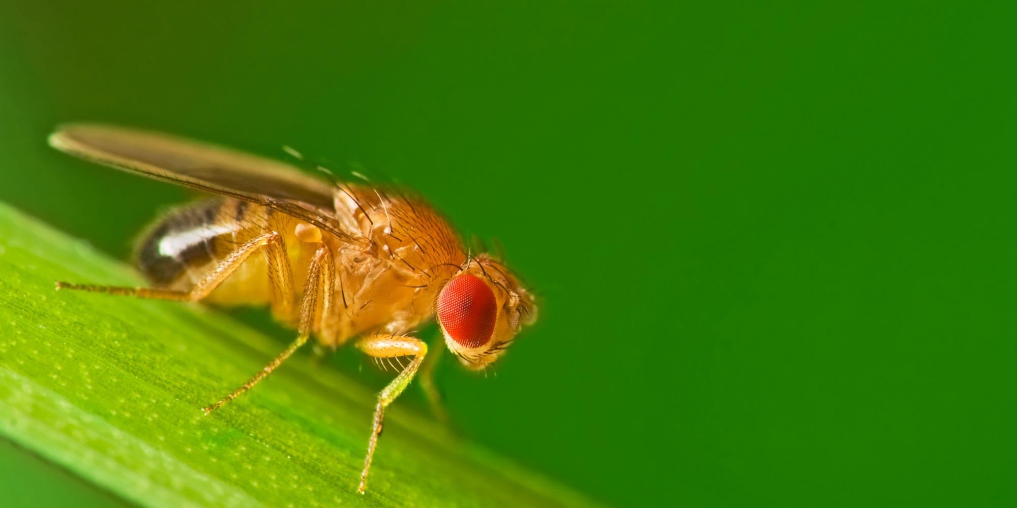 Male fruit fly (Drosophila Melanogaster) on a blade of grass