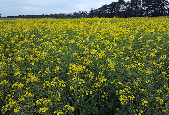 field of yellow flowering canola plants