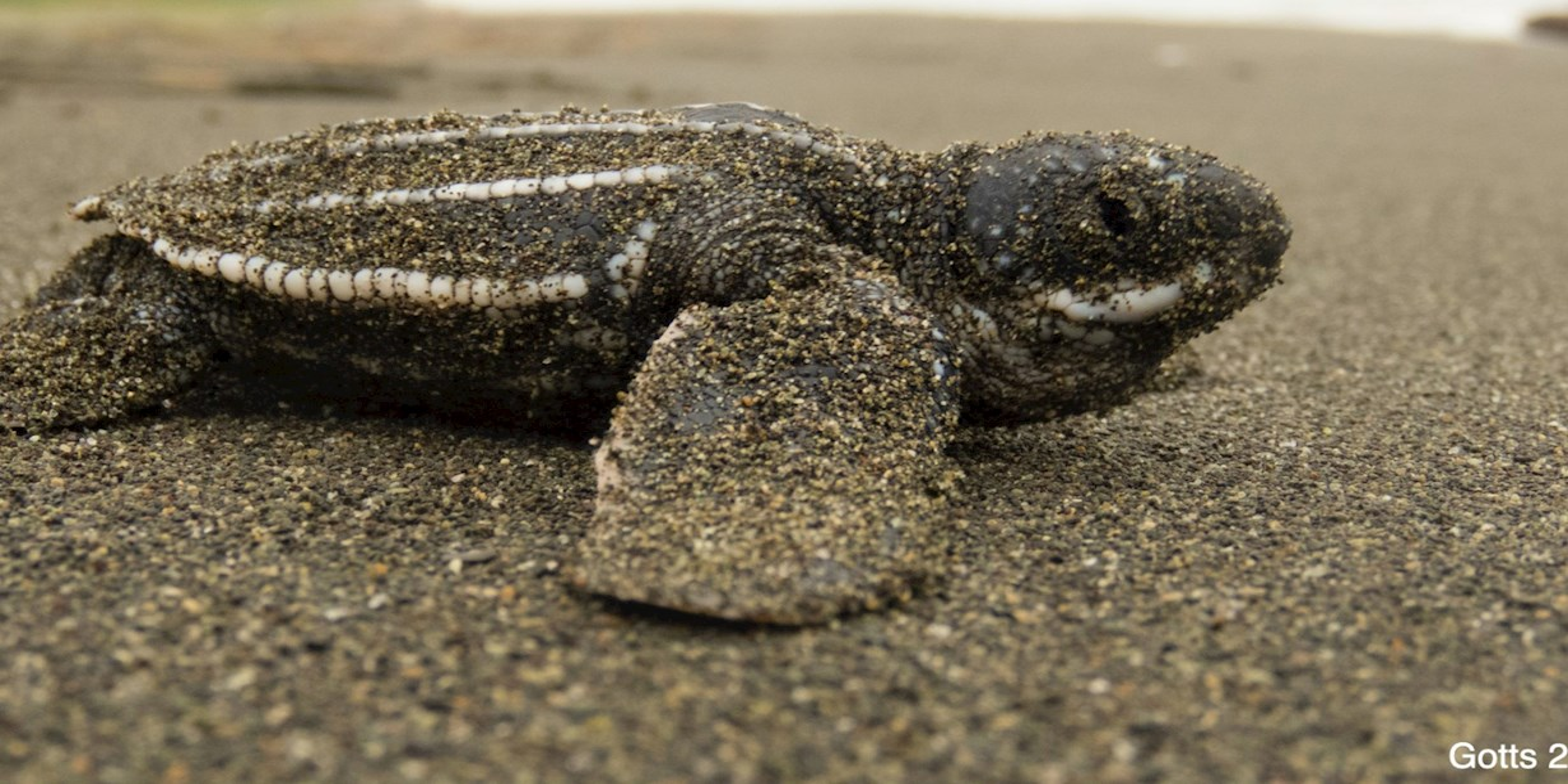Pacific leatherback sea turtle