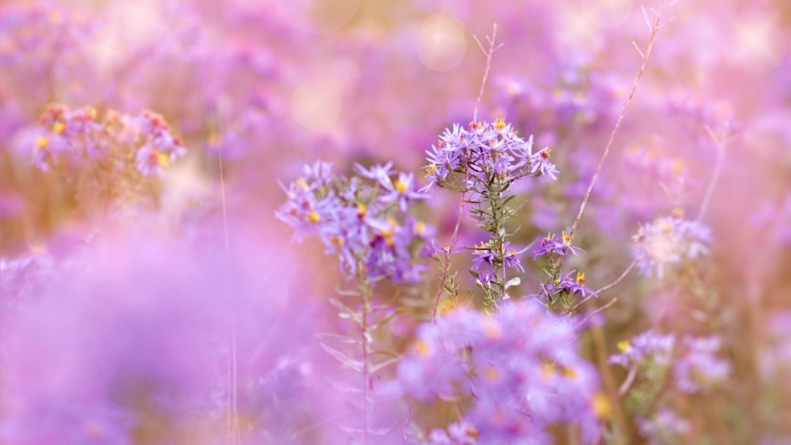 Field of purple flowers