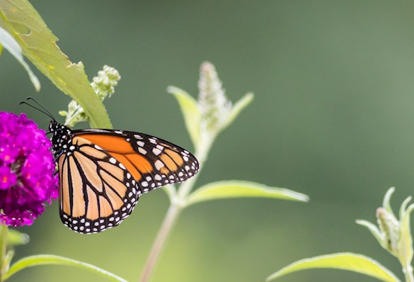 Monarch butterfly on flower